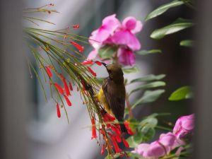 Sunbird on my balcony